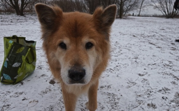 chow chow/border collie and 100% handsome