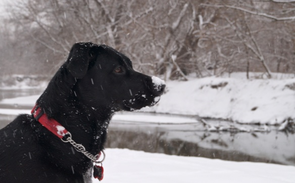 Tilda down by the river with a dusting of snow on her snout