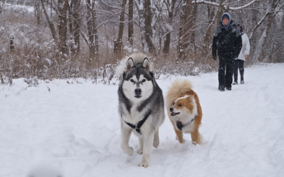 Viggo chasing a Malamute by the name of Biffa (I think that is what I heard) on the valley trail