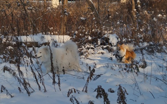 Kuv (a Samoyed) i and Viggo romping through the bush