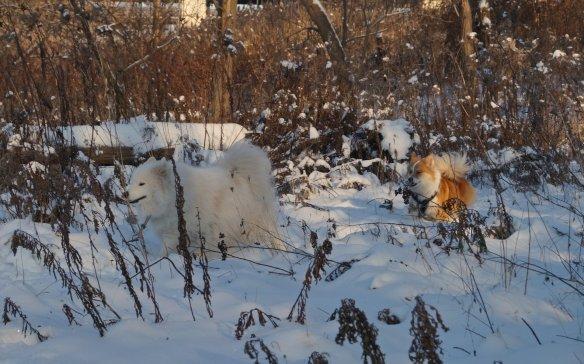 Kuv (a Samoyed) i and Viggo romping through the bush