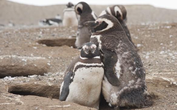 Isla Magdalena penguins looking at me