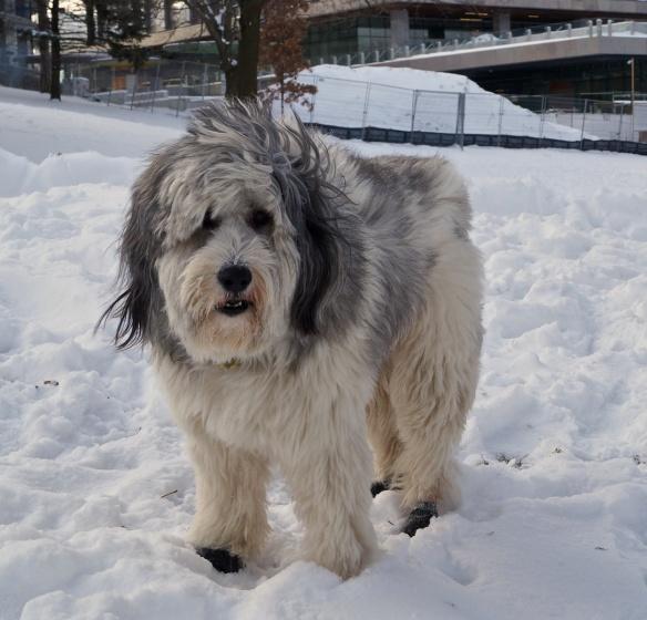 kuba the Polish Lowlands Sheepdog
