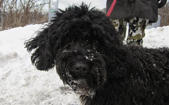 Cosmo the Portuguese Water Dog