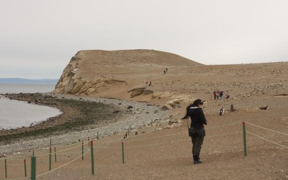roped-off path through Isla Magdagena penguin colony