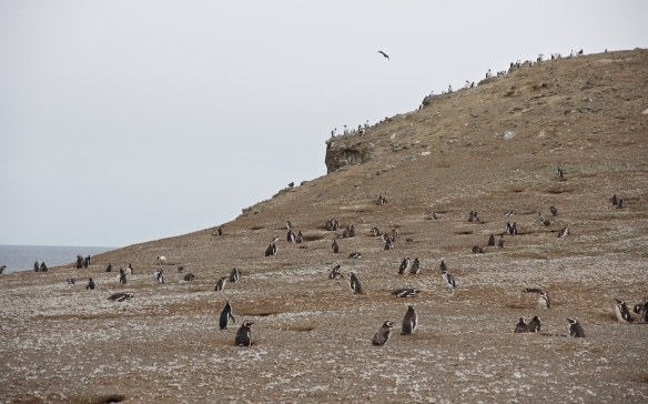 isla magdagena penguins out for a stroll