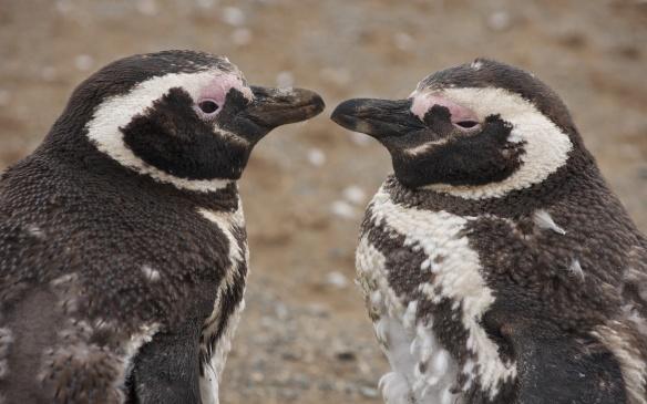 Isla Magdalena penguins up close