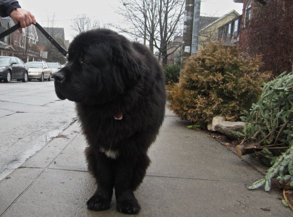 Patterson the Newfoundlander on his afternoon stroll in Roverdale
