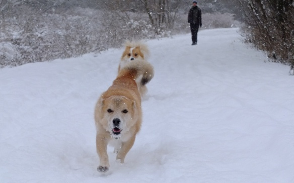 play time down in the Don Valley- is it a husky-lab mix?