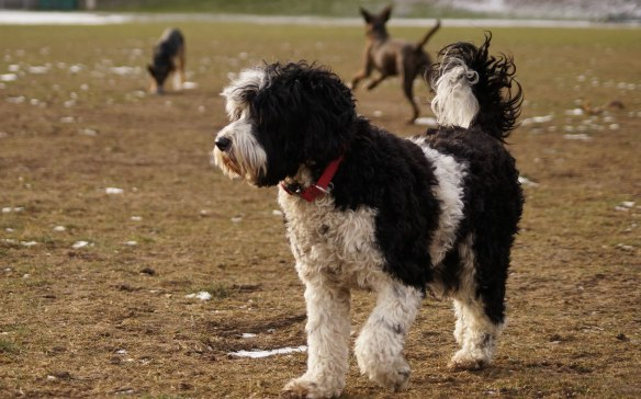Portuguese Water Dog at Riverdale Park