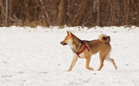 Shibu Inu (a Japanese Spitz breed) at Riverdale Park East - I didn;t catch this young guy's name