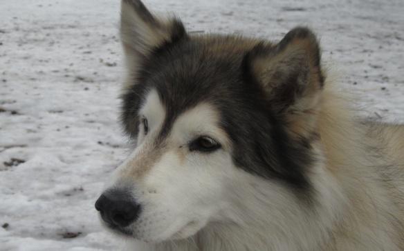 Siberian husky at Withrow Park