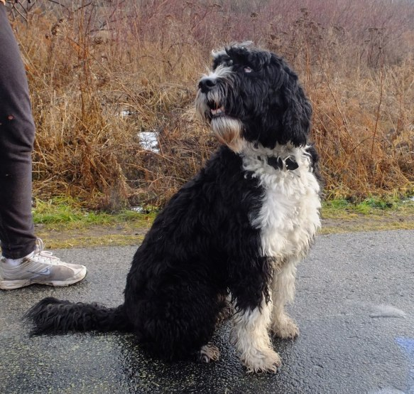 Toby the Portuguese Water Dog in the Don Valley