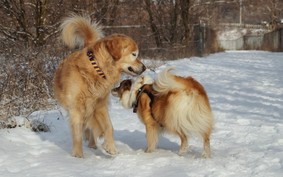 Viggo and a Golden Retriever exchanging greetings on the Don Valley trail