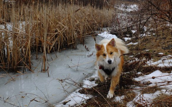 Bye Bye, snow! Viggo in the Don Valley on a cloudy day with +6 C temperature