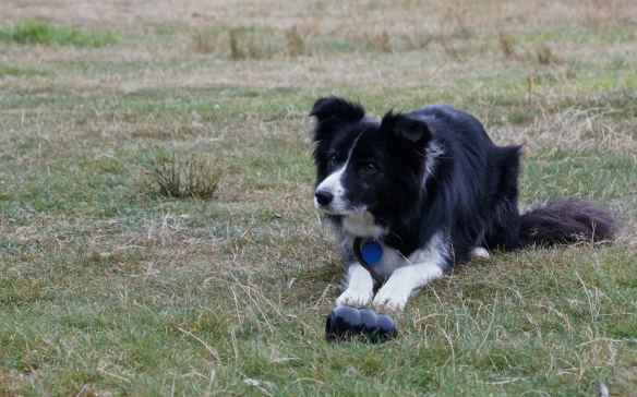 Bernie the border collie at the Mavora Lake camp spot - ready to do some work!