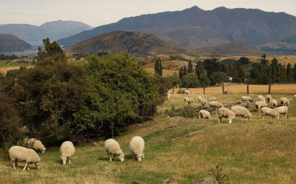 mandatory %22sheepshot%22 on the way to Arrowtown- lake Hayes in the background