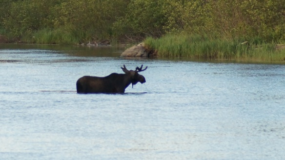the moose at Mooseview Camp