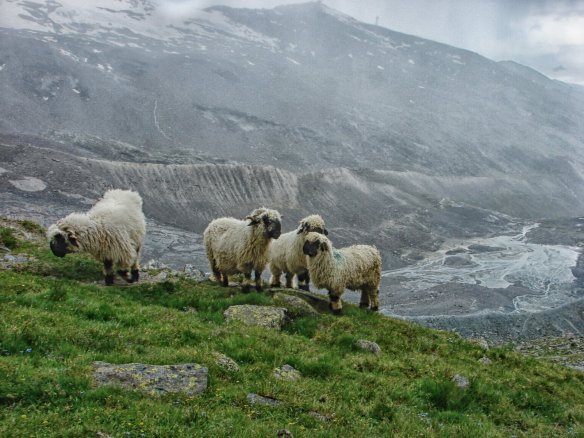 sheep grazing above Blauherd
