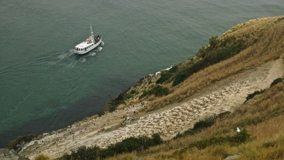 boat and albatross at Taiaroa Head on the Otago Peninsula