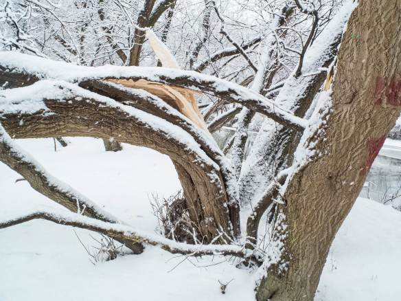 Icestorm tree damage along the Don River