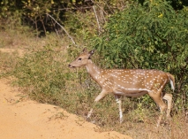 spotted deer at yala N. P.