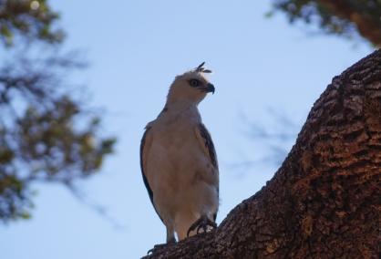 eagle at Yala
