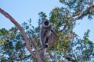 Yala monkey