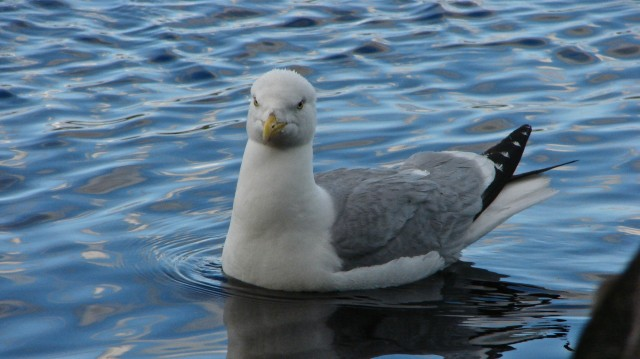 Felsia Lake sea gull up close