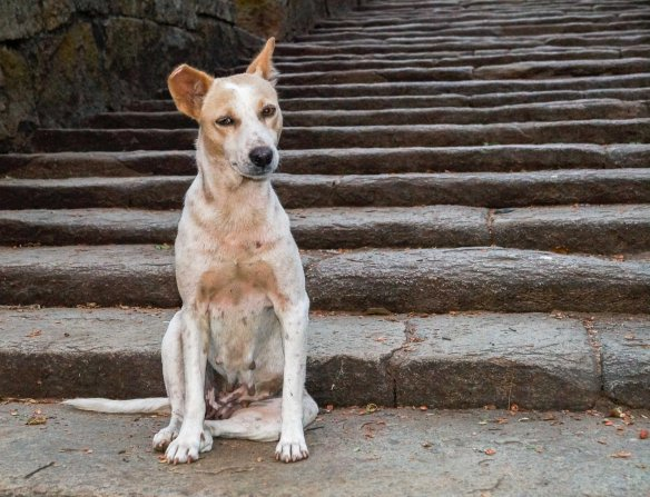 stray dog on Mihintale staircase
