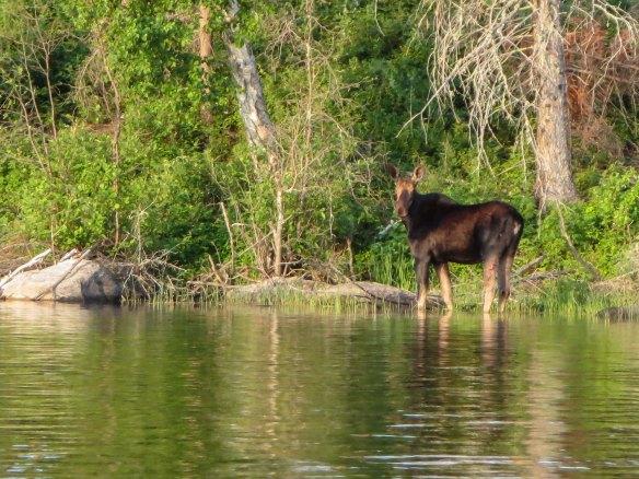 moose closer up