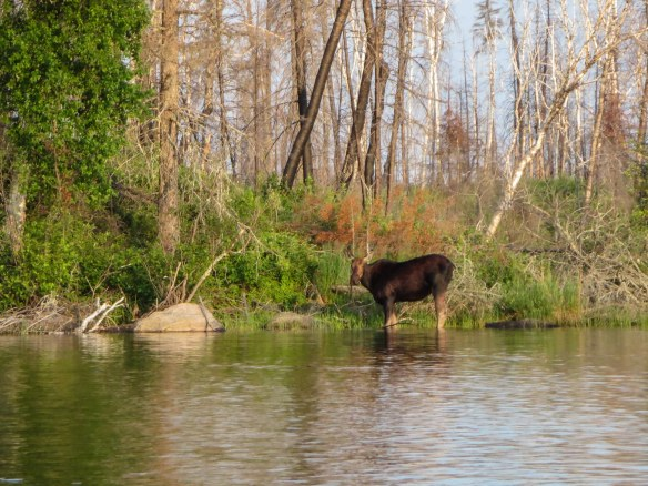 moose sighting on the way to Barclay Lake