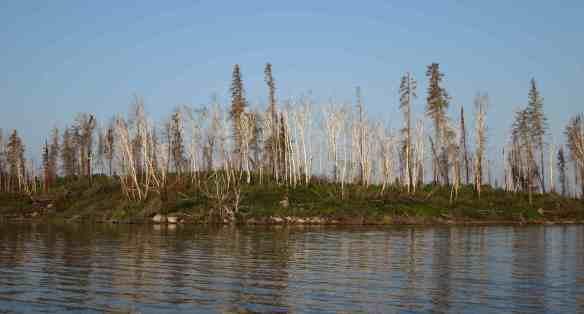 post-burn birches along the Bloodvein