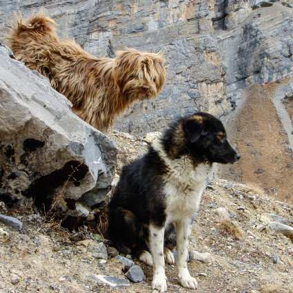 two local dogs in the hills above the Thorung Lodge