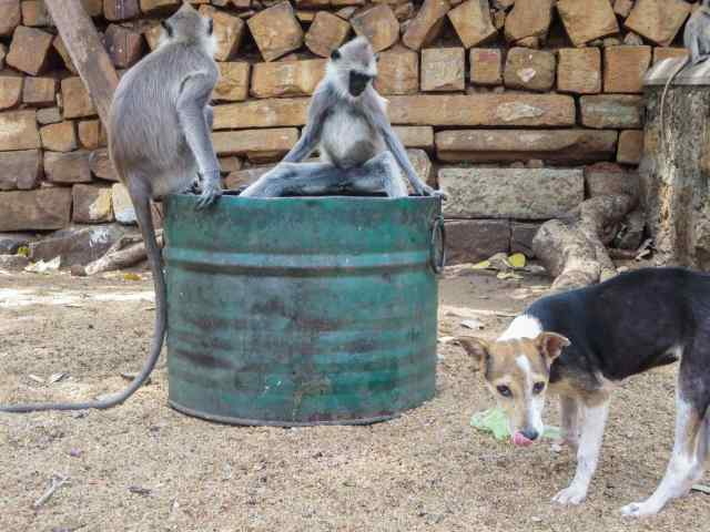 chimps guarding food source from a dog