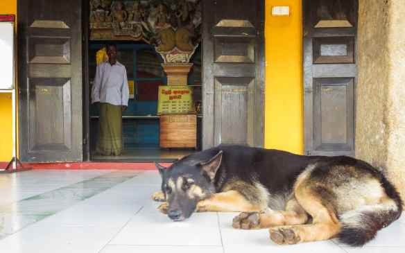 stray dog enjoying the cool of the morning at Jetavana Dagoba