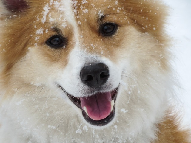 one happy Icelandic Sheepdog