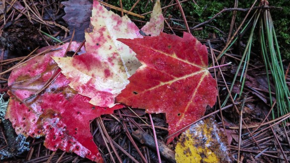 maples leaves on the portage
