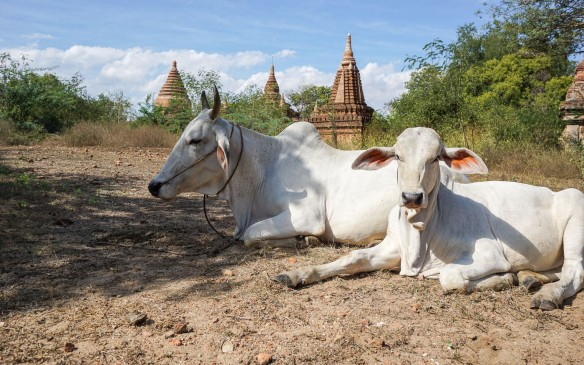 cattle in the fields of Old Bagan