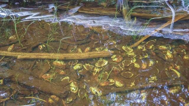 Steel River shore - open clam shells in water