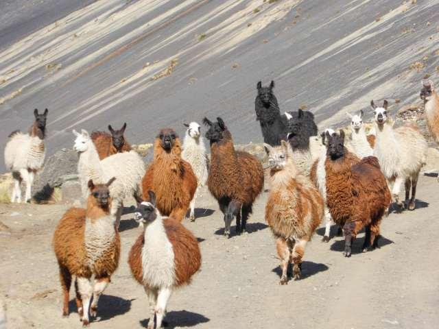 llamas at Jistana Khota