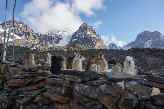 llamas coralled fand ready for a day's work