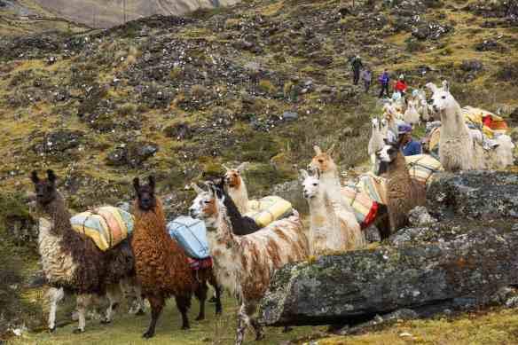 llamas in reasonable order here as Botijlaca nears