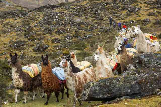 llamas in reasonable order here as Botijlaca nears