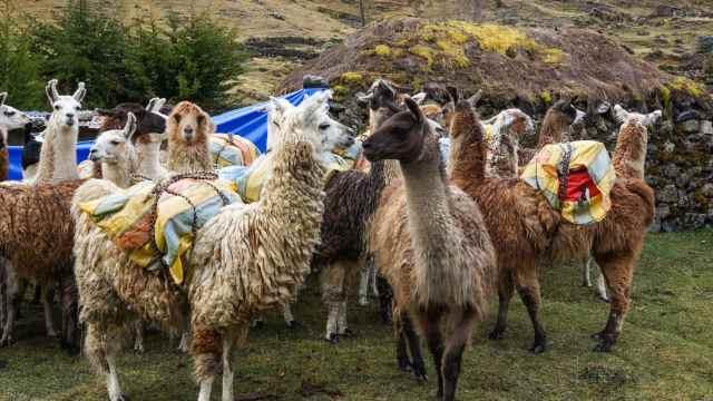 loaded llamas ready for the day's haul