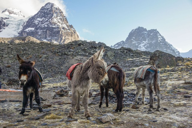 the donkeys - the real workhorses of the trek!