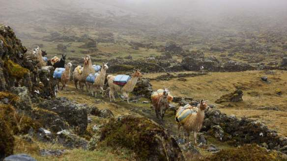the llamas emerge from the mist - at their own pace!