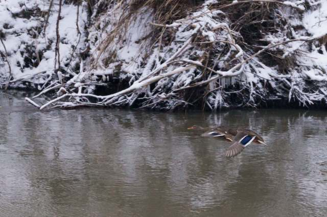 ducks in flight on the Don River