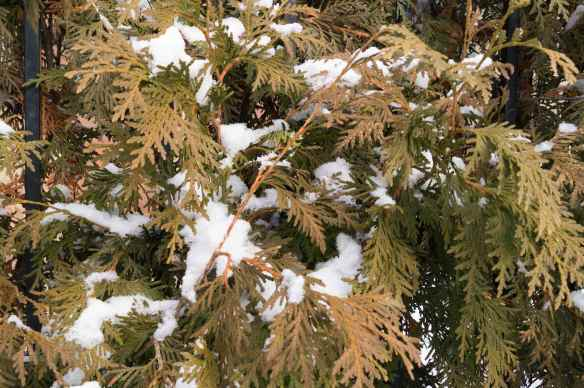 snow and cedar catch my eye