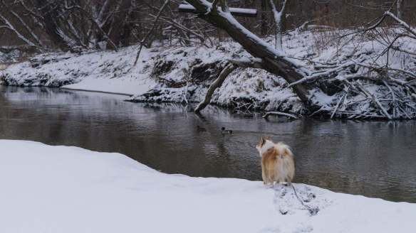 Viggo spots his duck buddies on the river